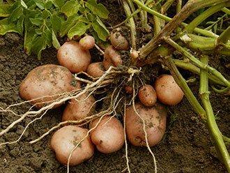 Повышение урожайности картофеля